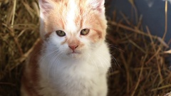 Close-Up Of Cute Kitten Sitting on Straw Hay Bale. Stock Footage