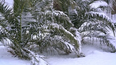 Leavs of palm trees covered with snow Stock Footage