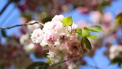 Japanese cherry used for its spring blossom displays and festivals Stock Footage