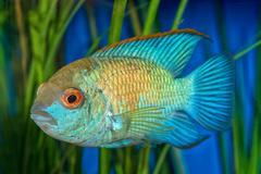 Portrait of cichlid fish (Andinoacara sp.) Stock Photos