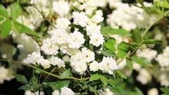 Litle White Iceberg Roses Stock Footage