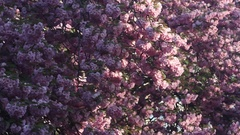 Beautiful Cherry tree blossoms in full bloom at spring. Amazing pink flowers Stock Footage