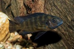 Portrait of cichlid fish (Pseudotropheus crabro) Stock Photos