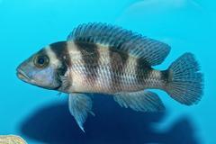 Portrait of cichlid fish (Neolamprologus sexfasciatus) Stock Photos