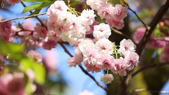 Oriental cherry is a species of cherry native to Japan Korea and China Stock Footage