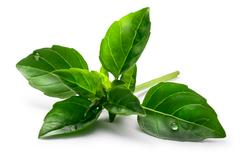 Fine verde basil, clipping paths Stock Photos