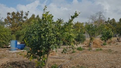 The citrus plantation with green trees and oranges on it Stock Footage