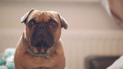 Portrait of small brown bulldog looking beyond camera Stock Footage