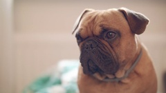 Small French bulldog with droopy ears glances quickly at camera Stock Footage