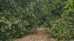 Young man walking among the citrus trees on the green plantation Stock Footage