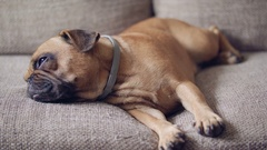 Small lazy bulldog getting up from sleeping on the couch Stock Footage
