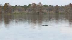 Alligator and Bird Activity on Lake Hancock at Circle B Bar Reserve, 4K Stock Footage