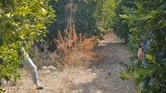 Young woman and attractive man appears from a citrus trees on orange plantation Stock Footage
