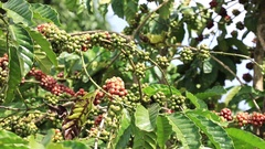 Branch with Coffee Berries Stock Footage