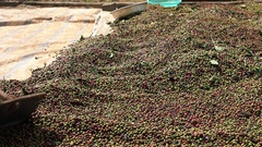 Drying Coffee Beans in the sun Stock Footage