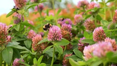 Bees pollinate pink wild flowers 4K. Relaxing nature, calm. Collecting nectar Stock Footage
