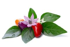 Hot Bolivian Rainbow Peppers (Capsicum Annuum) Stock Photos
