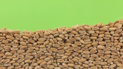 Wheat grains close the (to bury) green screen Stock Footage