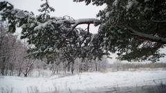 Snow Falling from the Snow-Covered Christmas Tree Branches in Winter Day. Slow Stock Footage
