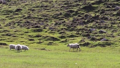 Sheep pastures Stock Footage