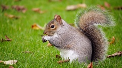 Grey squirrel eating food/ nuts from its paws on lawn, in Autumn. Cute animal Stock Footage