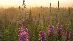 Stems of Fireweed Blooming in Drops of Dew at Sunrise. Backlight. Stock Footage