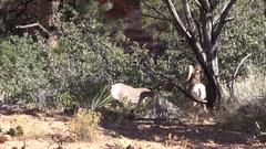 Desert Bighorn Sheep Rams in the Rut Stock Footage