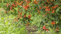 Cherry berries ripen on the branches Stock Footage