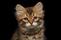 Siberian kitty on isolated black background Stock Photos