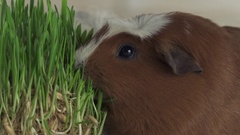 Guinea pigs breed Golden American Crested eat germinated oats slow motion stock Stock Footage