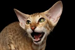 Peterbald kitty on isolated black background Stock Photos