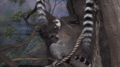 Funny Ring-tailed lemur on tree branch stock footage video Stock Footage