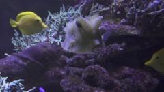Yellow longhorn cowfish in saltwater aquarium stock footage video Stock Footage