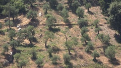 4K Oil Farm, Olive Tree Orchard, Harvest in Greece, Countryside Culture View  Stock Footage