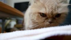 Close up persian cat big head preparing to sleep on chair Stock Footage