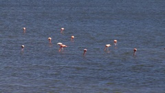 Flock of pink flamingos in shallow water in the caribbean Stock Footage