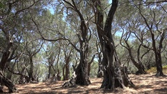 4K Olive Tree Orchard, Oil Farm, Harvest in Greece, Countryside Culture View  Stock Footage