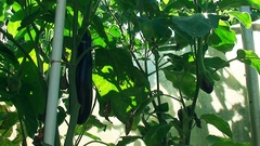 Die Frucht der Aubergine in der Reifezeit, Eggplant in hothouse, closeup footage Stock Footage