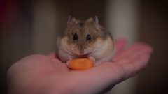 Hamster eating a carrot, sitting on owner's hand. Stock Footage