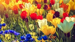 Multicolor tulips and anemones field. Nature background Stock Footage