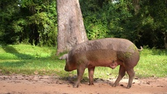 Dirty Pink Pig Walking Outdoors Stock Footage