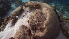 Unhealthy brain coral in caribbean  Stock Footage