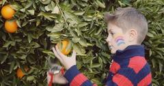 Little boy picking oranges in the garden Stock Footage