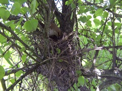 Red-backed shrike female, nest, chicks. Сarnivorous passerine Lanius collurio Stock Footage