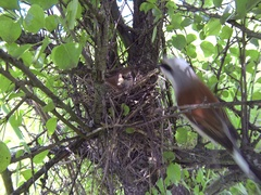 Red-backed shrike Lanius collurio on the nest with young chicks Stock Footage