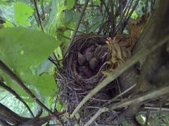 Nest with chicks Red-backed shrike Lanius collurio. Сarnivorous passerine bird Stock Footage