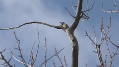 Woodpecker Hops Grey Red Spotted Colaptes Medium Stock Footage