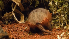 In the zoo, armadillo runs in aviary, everywhere sticks his nose, looking food Stock Footage