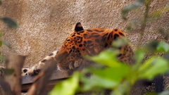 In the zoo beautiful colorful leopard asleep in his place Stock Footage
