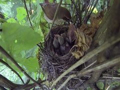 Female Red-backed shrike feeds nestling and takes dung from the nest Stock Footage